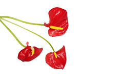 Three red anthurium flowers isolated. With text space stock image