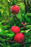 Three red apples on branch Royalty Free Stock Photos