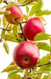 Three red apples on the branch. Healthy food and ripe crop harvest time in autumn stock images