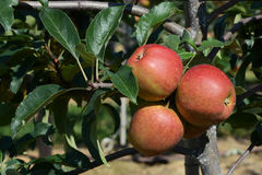 Three red apples ripen on the tree Stock Photography