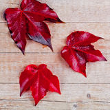 Three red autumn leaves Royalty Free Stock Image