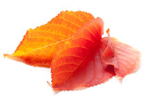 Three red autumn leaves on white background Stock Photography