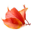 Three red autumn leaves, on white Royalty Free Stock Photo