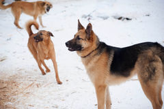 Three red barking dog on snow Royalty Free Stock Photography
