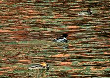 Three red breasted merganser ducks floating on the Chicago River with reflections of cityscape royalty free stock images