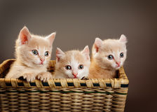 Three red British kittens. In basket Royalty Free Stock Photos