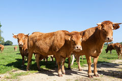 Three red brown Limousin beef cows looking curiously at the came Stock Photo