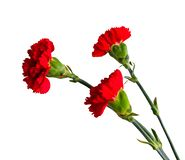 Three red carnation flowers on a white isolated background. royalty free stock photo