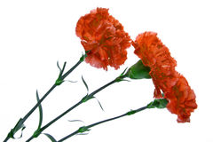 Three red carnation on a white background Stock Images
