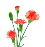 Three Red Carnations royalty free stock photography
