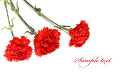Three red carnations Stock Photography