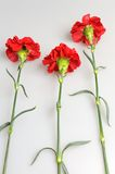 Three red carnations on gray Royalty Free Stock Images