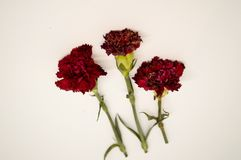 Three Red Carnations Isolated White Background. Royalty Free Stock Photos