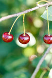 Three red cherry ripe fruits on twig Royalty Free Stock Photo