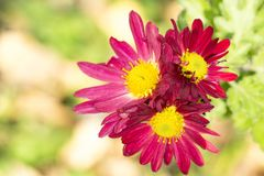 three red chrysanthemums under the sun in the autumn garden close-up stock photography