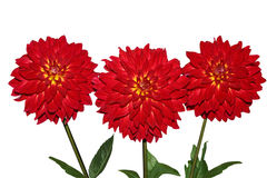 Three Red Dahlia Stock Images