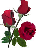Three red dark roses bunch isolated on white Royalty Free Stock Photos