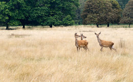 Three red deer hinds, curious, in long grass watching. Royalty Free Stock Images