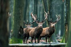 Three red deer stag standing together in forest. royalty free stock photography