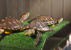Three red-eared sliders. Royalty Free Stock Photography