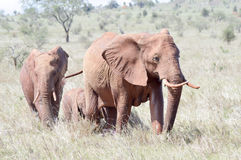 Three red elephant in the savannah Royalty Free Stock Images