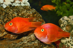 Three red fishes Stock Photo