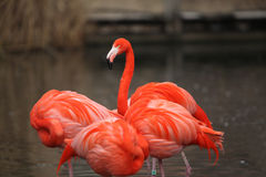 Three red flamingos with dark background Royalty Free Stock Images