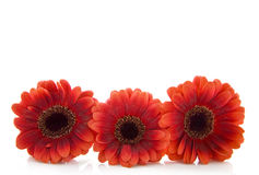 Three red flowers royalty free stock image