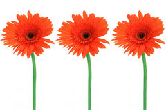 Three red flowers. Are isolated on a white background Stock Images