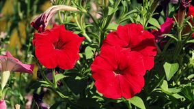 Three red flowers. Background in the garden stock images