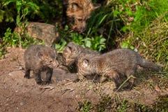 Three Red Fox Kits (Vulpes vulpes) Meet Stock Photography