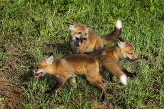 Three Red Fox Kits (Vulpes vulpes) at Play Stock Photography