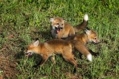 Three Red Fox Kits (Vulpes vulpes) at Play Stock Photography