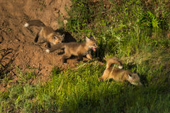 Three Red Fox Kits Vulpes vulpes Run to the Right Stock Photography