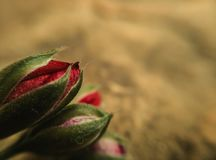 Three red geranium flower buds on rock background royalty free stock images