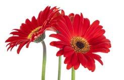 Three red Gerber Daisys Stock Photos