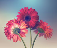 Three red gerbera flowers Stock Images