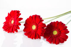 Three red gerbera Royalty Free Stock Photos