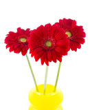 Three red gerbera in a vase Stock Image