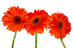 Three red gerberas. Isolated over white Stock Images