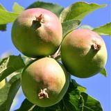 Three red and green apples are growing in an apple tree stock photo