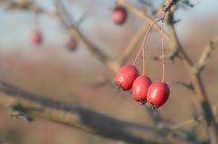 Three red hawthorn berries closeup in wild stock photography