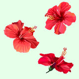 Three red hibiscus flowers. Three beautiful red hibiscus flowers. Watercolor effect. Vector illustration in eps10 format Stock Image