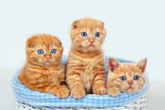 Three red kittens. Three cute red kittens in a basket Royalty Free Stock Photo