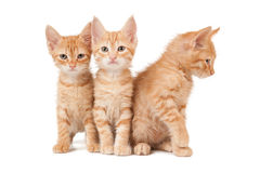 Three red kittens. On a white isolated background look ahead stock photography