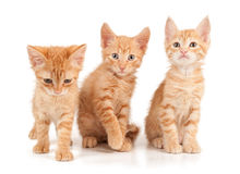Three red kittens. On a white isolated background look ahead Stock Image