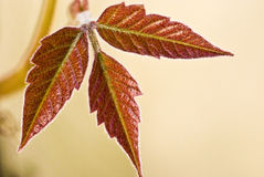 Three red leaves Stock Image