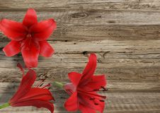 Three red lily Royalty Free Stock Image