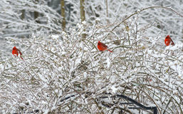 Three red male Cardinals perch in snowy bush. Stock Photos
