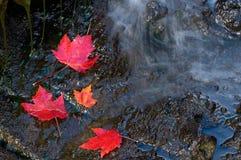 Three Red Maple Leaf on Dark Rocks Stock Images